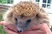Hedgehog Care Centre, Authorpe, Lincolnshire